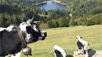 La race bovine vosgienne: un atout pour le Département