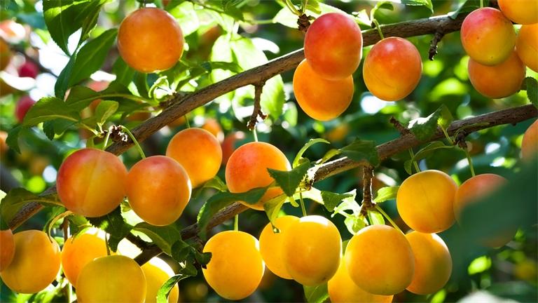 Aide à la plantation de fruitiers : de belles retombées